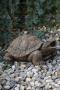 Large Turtle - Plumbed